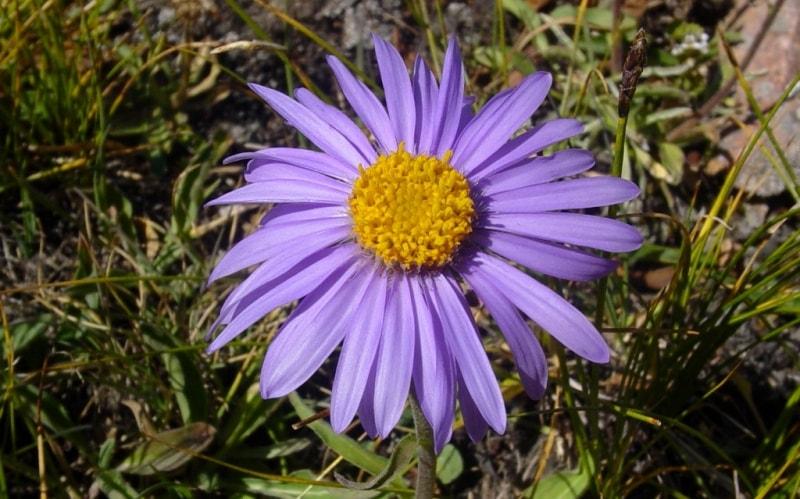 Астра альпийская. Aster alpinus L.