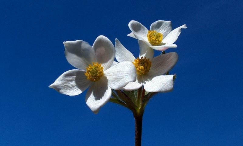 Ветреница вытянутая.  Anemone  protracta (Ulbr.) Juz.