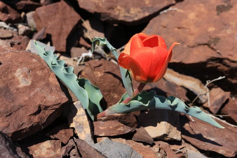 Тюльпаны Альберта (каратуский).