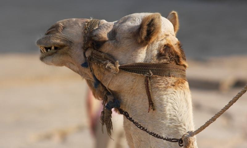 Еще в автобусе, когда мы двигались из Каира к пирамидам Гиза, гид насколько раз предупредил нас о том, что кататься на верблюдах крайне нежелательно.