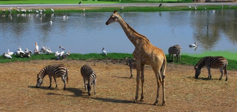 Жирафы Таиланда.