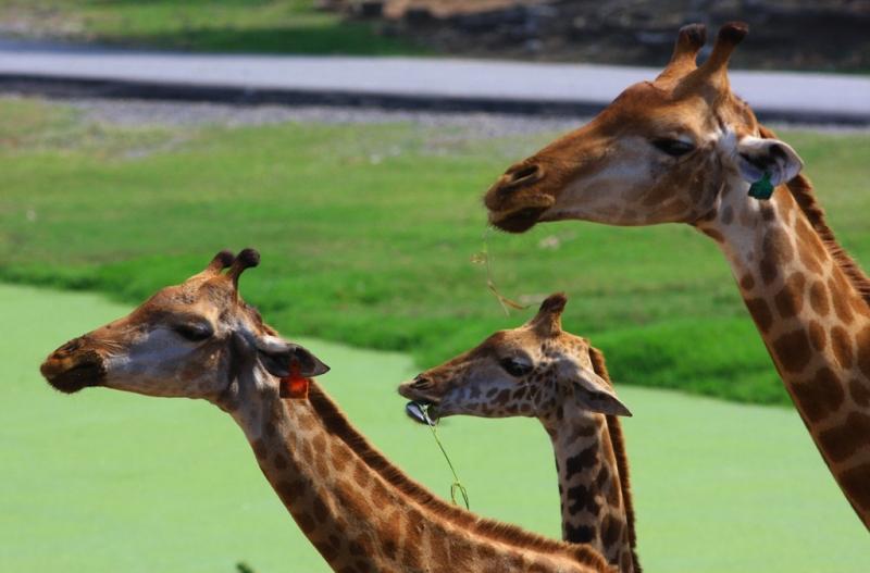 Жирафы Таиланда. Giraffes of Thailand.