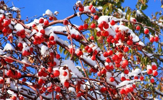 Яблоки апорт в урочище Коклай-Сай. Октябрь, 2012 год.