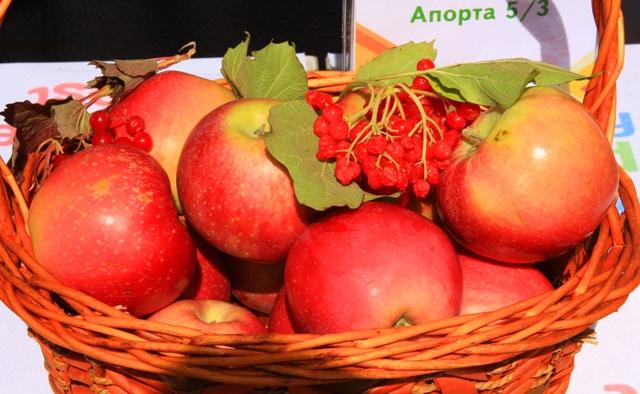 Сорт апорта 5-3. Выставка яблок на день города в Алматы. 2012 год.