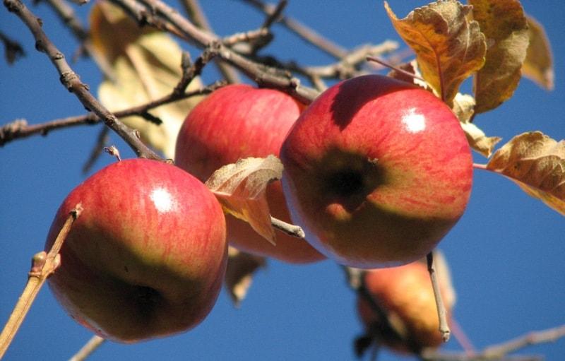 Яблоко Заилийское.