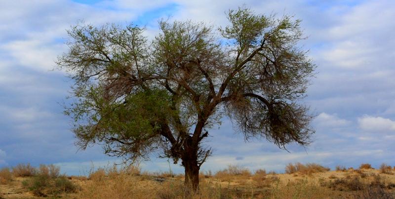 Дерево в Старом Каратерен, которое посадил, по преданию, Тарас Шевченко, во время зимовки с экспедицией Бутакова с 1848 на 1849 годы. Апрель, 2013 года.