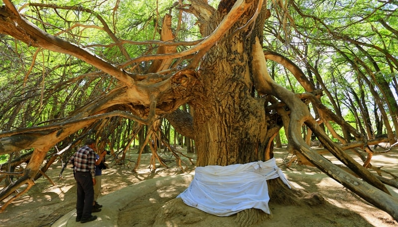 Sacred tree Aulie-Agash.