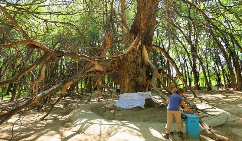 Священное дерево Аулие Агаш.