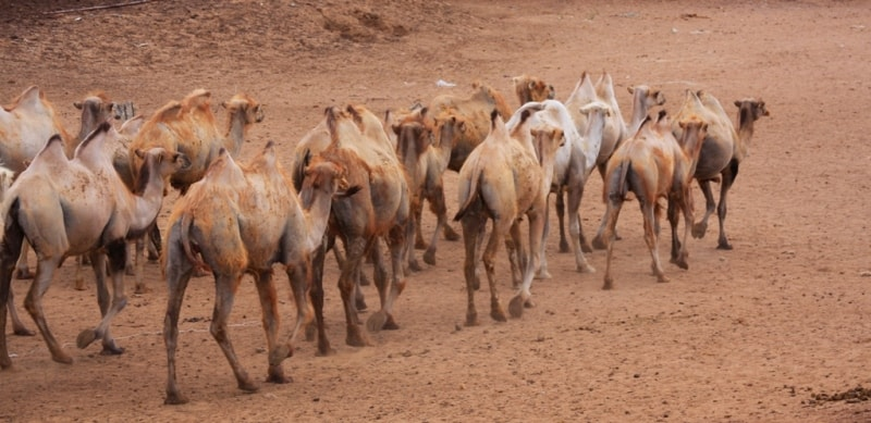 Camels in desert Taukum. Almaty of province.