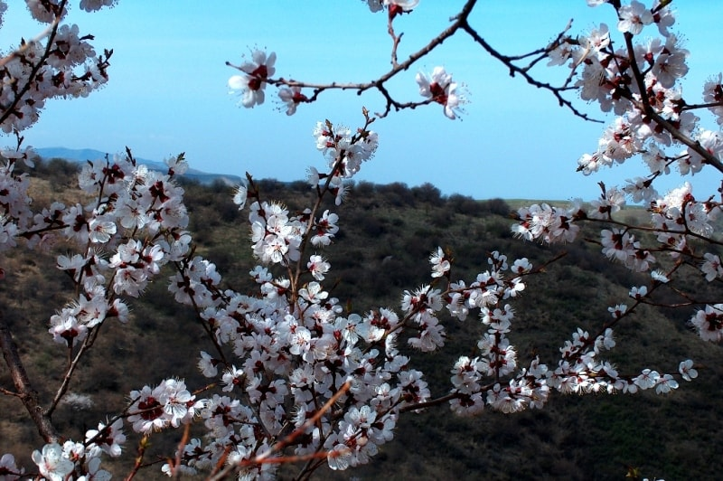 Flowering of plum in mountains Zailiiskyi of Ala-Tau. Vicinities of natural boundary Koklai-Sai.