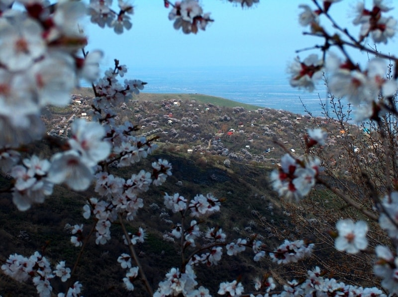 Flowering of a sweet cherry in mountains Zailiiskyi of Ala-Tau. Vicinities of natural boundary Koklai-Sai.