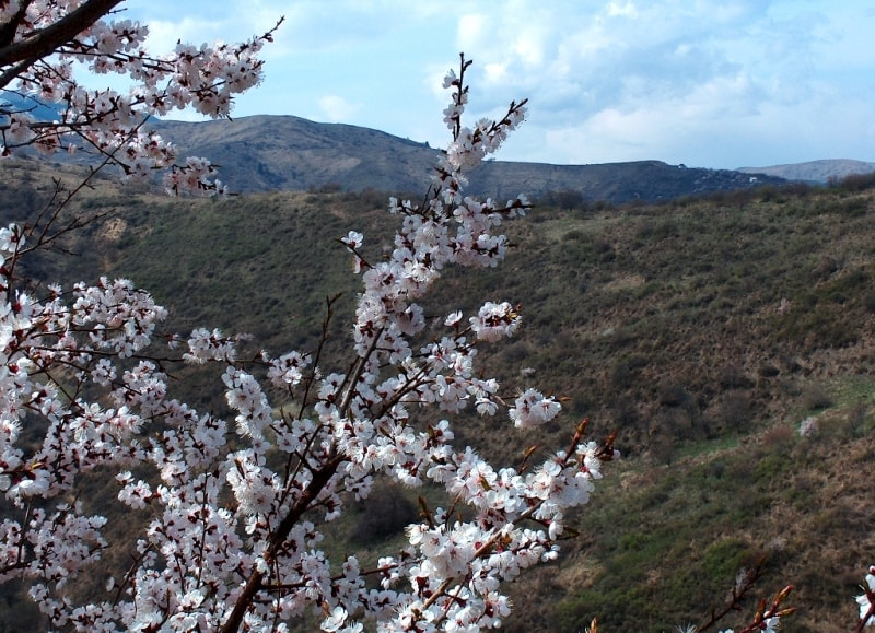 Flowering of plum of an apricot in mountains Zailiiskyi of Ala-Tau. Vicinities of natural boundary Koklai-Sai.