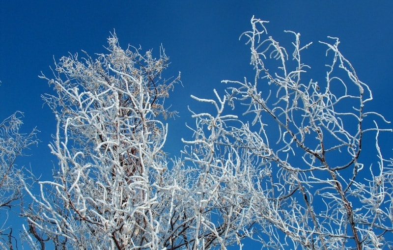 Trees are covered by hoarfrost.