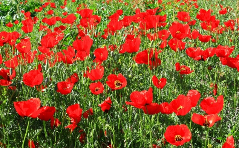 Poppies in the Almaty and Jambyl regions of Kazakhstan.