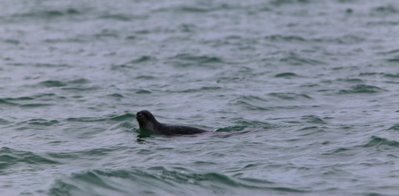 Lonely seal which we have met during our travel to the Seal islands.