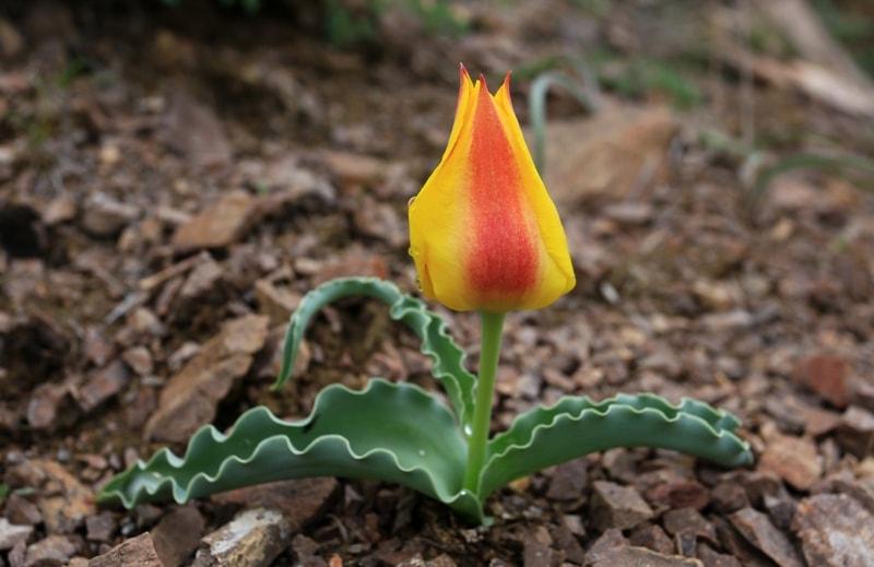 Tulipa alberti. Vicinities Kapshagay reservoir. Almaty province.