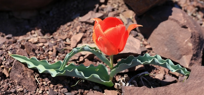 Tulipa alberti. Vicinities Akkol lake. Zhambyl province.