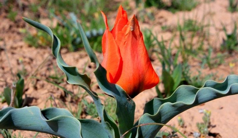 Tulipa Borszczowii.