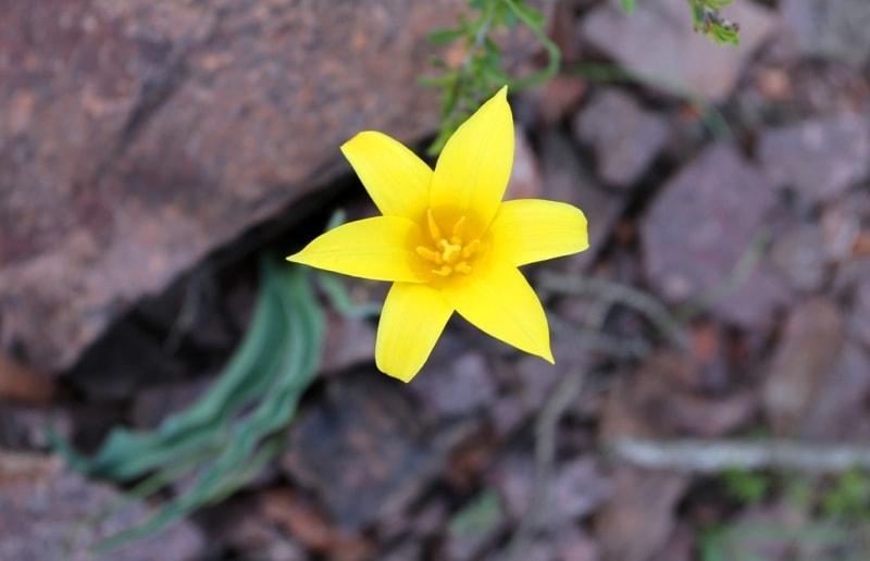 Tulipa corynestemon.