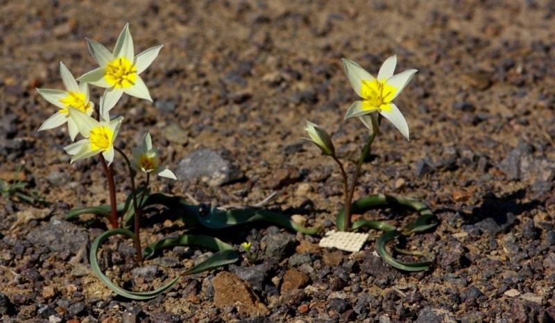 Tulipa buhseana.