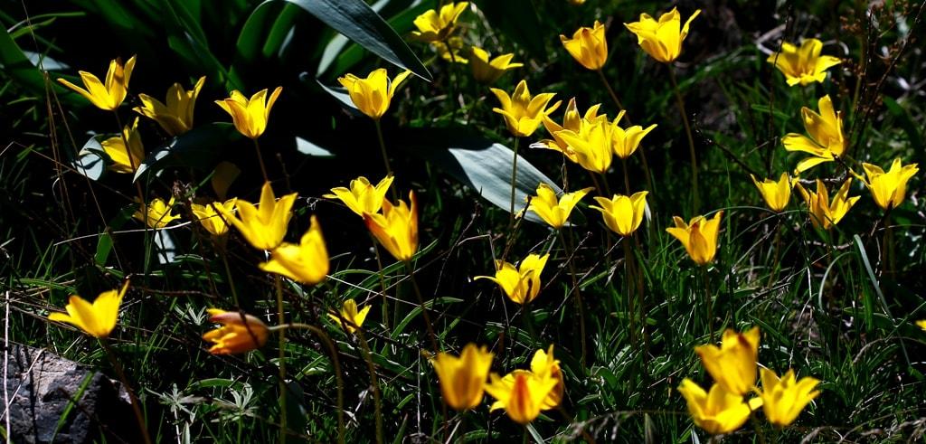 Tulipa tetraphylla.