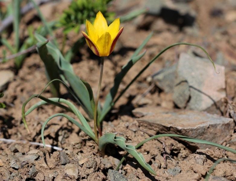 Tulipa iliensis Regel.