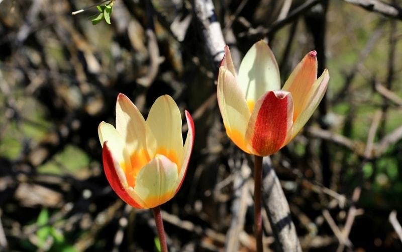 Tulipa kaufmanniana.