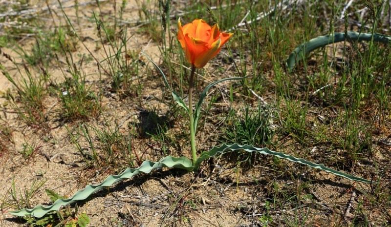 Tulipa Lehmanniana. Vicinities Kumburul barkhan in Zhambyl province.