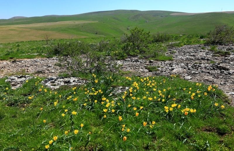 Tulipa Lemmersii. Canyon Mashat. Sothern Kazakhstan province.
