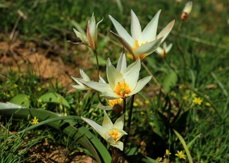 Tulipa bifloriformis.
