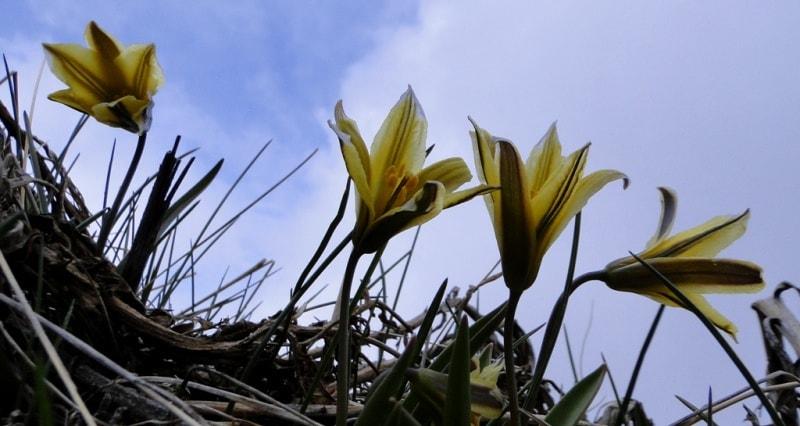 Tulipa heterophylla.