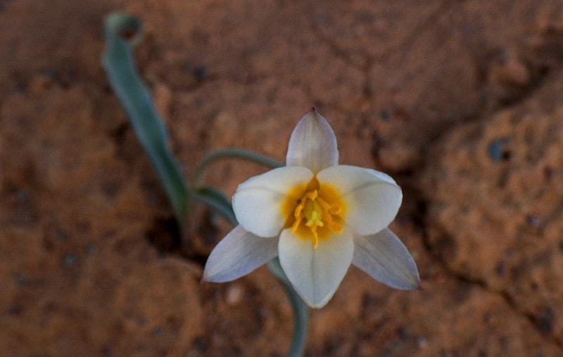 Tulipa sogdiana.