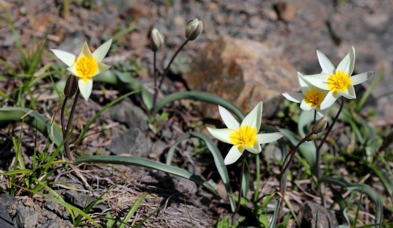 Tulip turkeslanica.