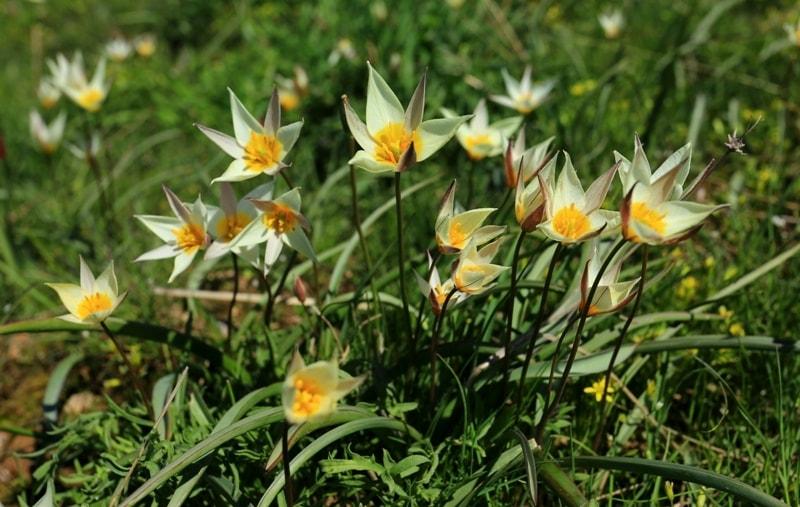 Тюльпан ложнодвухцветковый.