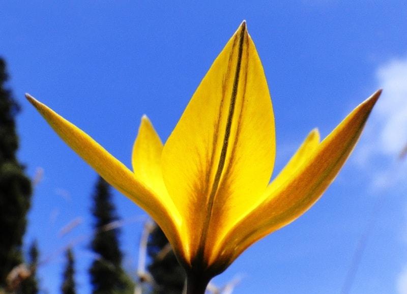 Tulipa dasystemon.