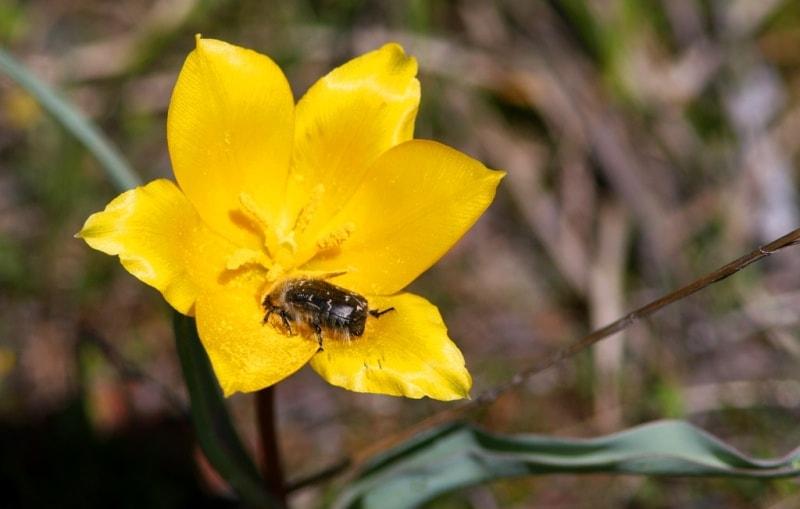 Tulipa zenaidae. Merke gorge. Zhambyl province.