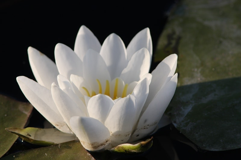 Water-lily (Nymphaea).