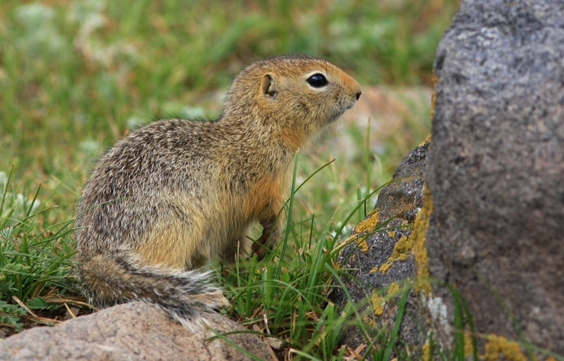 Ground squirrel (Citellus).