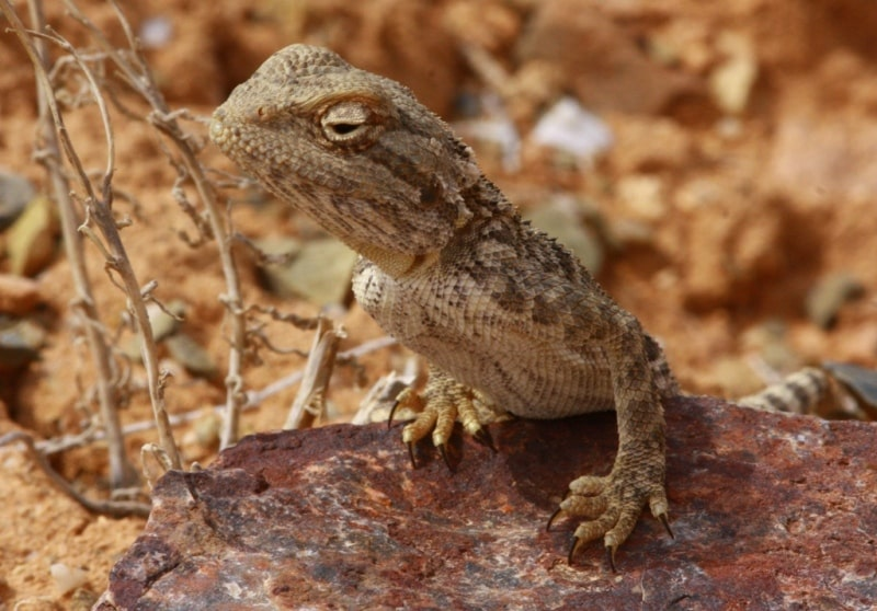 Dragon lizards (Agamidae).