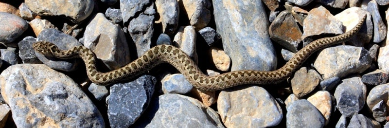 Vipers (Viperidae).