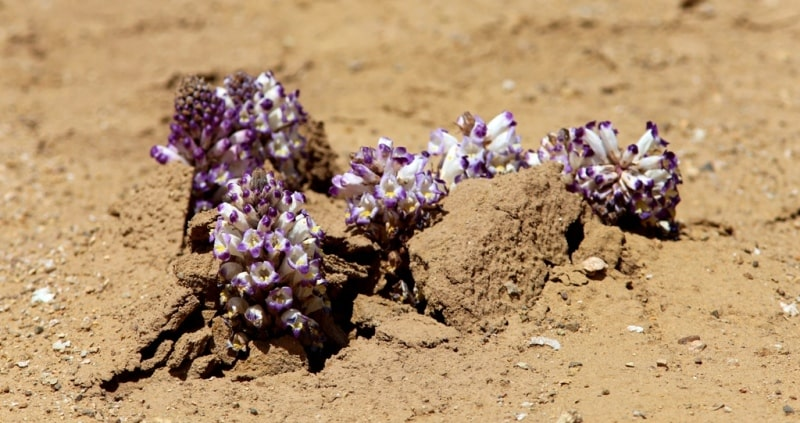 Flora of deserts Semirechye.