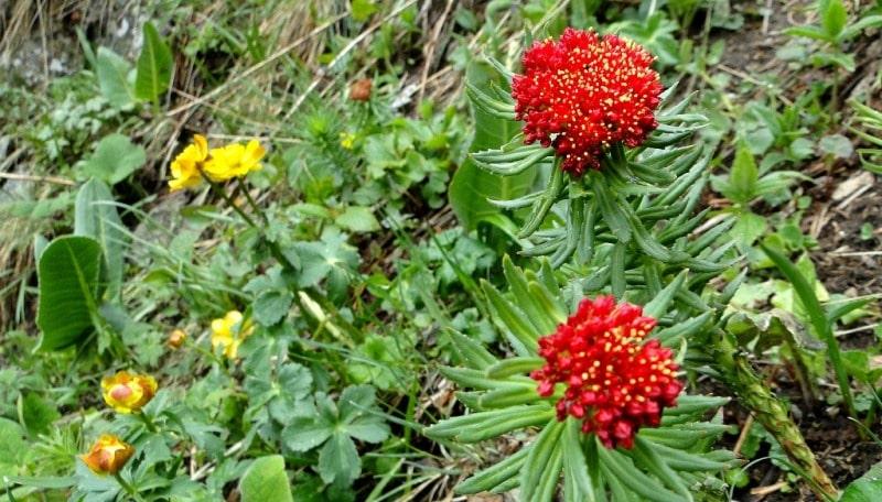 Flaxseed (Rhadiola rosea).