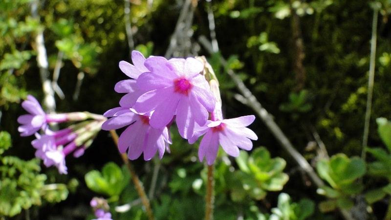 Violet primrose (Primula algida).