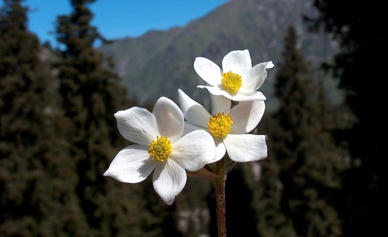 Acanthophyllum pungens (Bunge) Boiss.