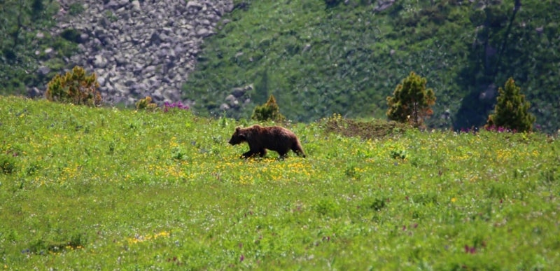 Meeting with a bear in the West Altai Nature Reserve.