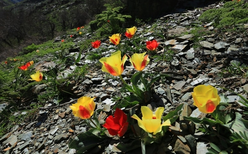 Тюльпаны Грейга в ущелье Беркара.