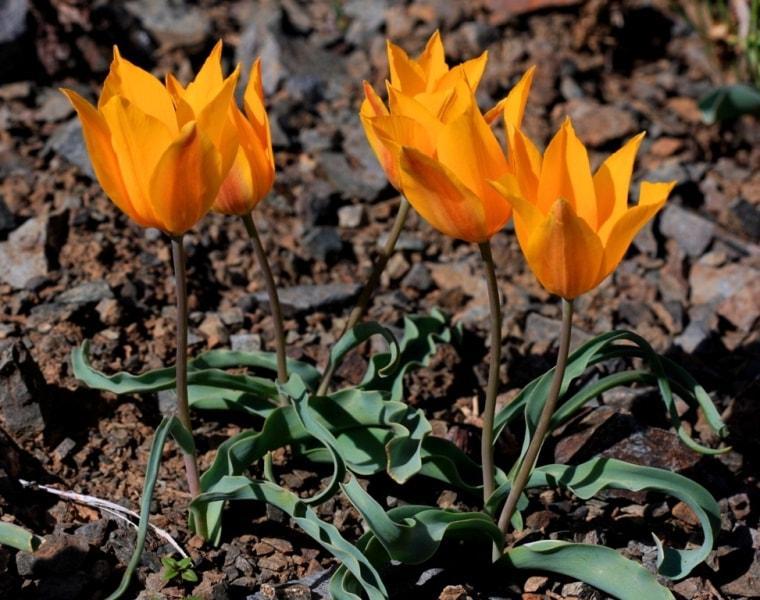 Тюльпаны Островского на перевале Кордай.