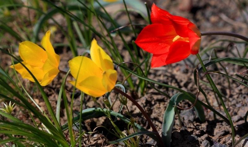 Тюльпаны Островского в Каскеленском ущелье.