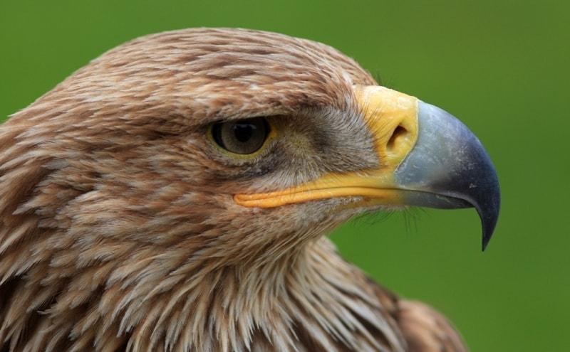 Беркут на шоу в питомнике хищных птиц Сункар.