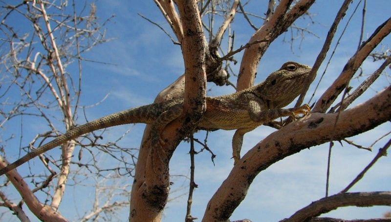 Lizard (Agama) in Altyn-Emel national park.